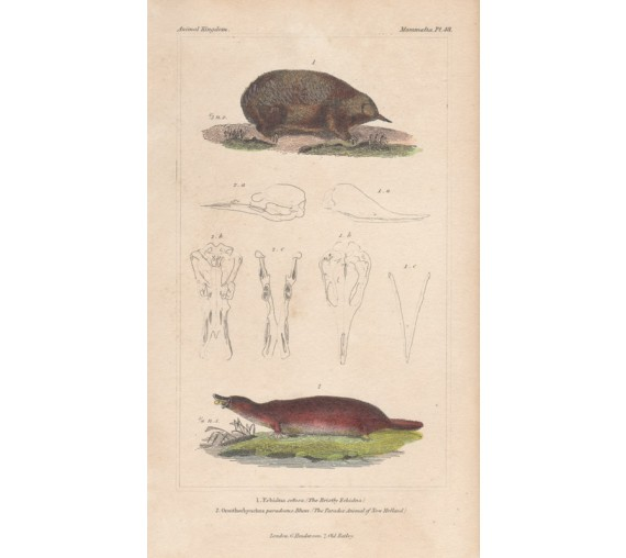 Bristly Echidna New Holland Platypus engraving 1837