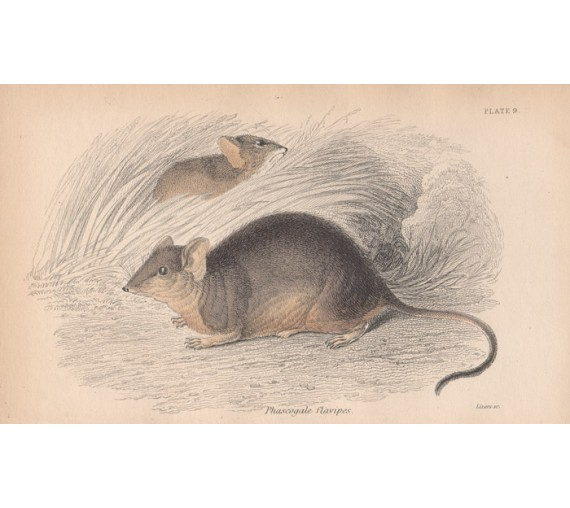 Phascogale flavipes Australian pouched mouse Engraving Lizars