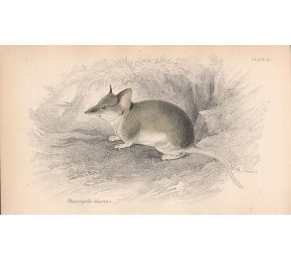 Phascogale murina New South Wales mouse Engraving Lizars