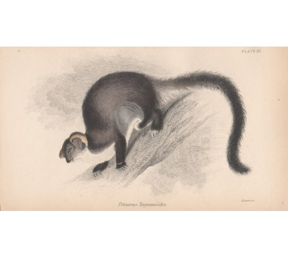 Petaurus Taguanoides Flying Opossum Greater Glider Engraving Lizars