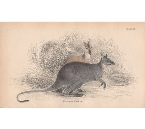 Macropus Bennettii Bennetts Wallaby Engraving Lizars