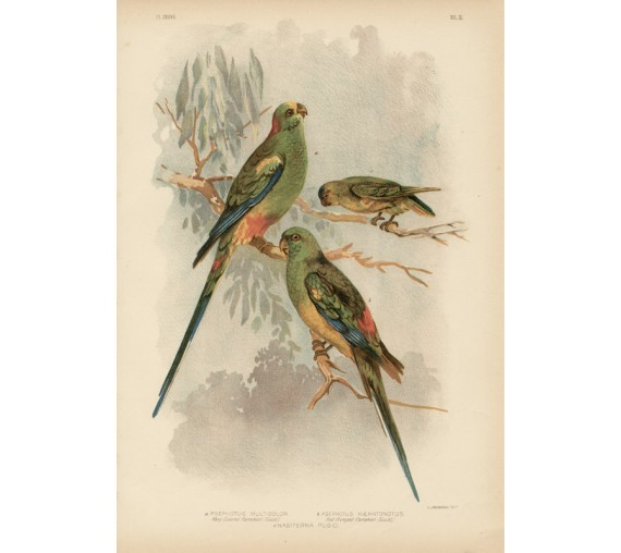 Many Colored Parrakeet Broinowski Birds Australia Chromolithograph