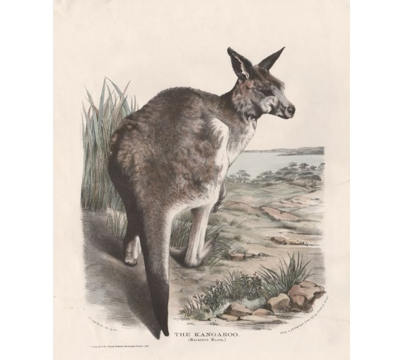 Kangaroo Macropus Major Lithograph Harriet Scott 1871