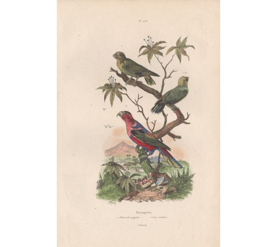 Pygmy Parrot Three Coloured Lorikeet Engraving