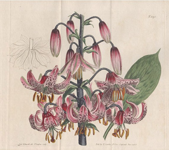 lilium martagon lily curtis botanical magazine print antique engraving