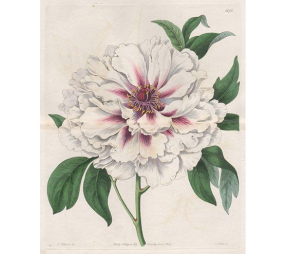 tree peony white botanical register print antique engraving flower old
