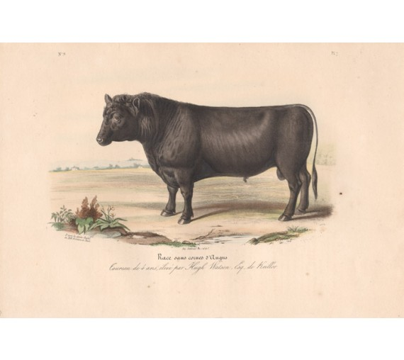 Low Domestic Breeds Angus Lithograph Nicholson