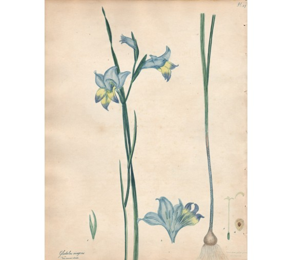 gladiolus ringens botanical print antique engraving andrews