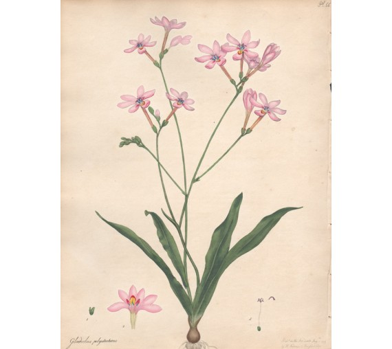 gladiolus polystachius botanical print antique engraving andrews