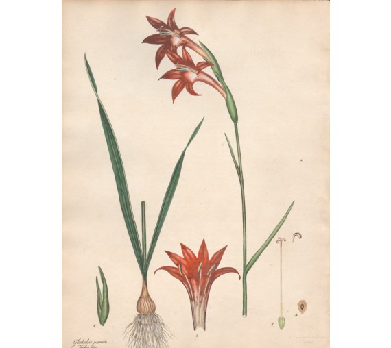 gladiolus praecox botanical print antique engraving andrews