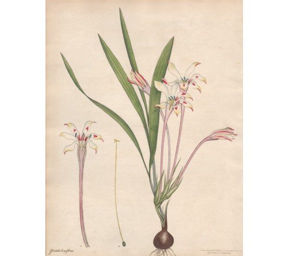 gladiolus longiflorus botanical print antique engraving andrews