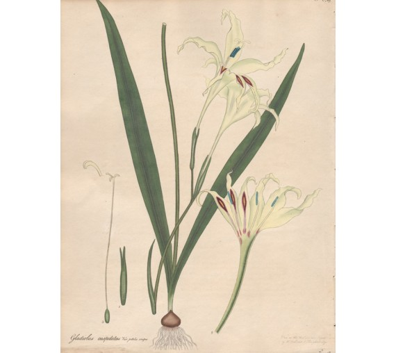 gladiolus cuspidatus botanical print antique engraving andrews