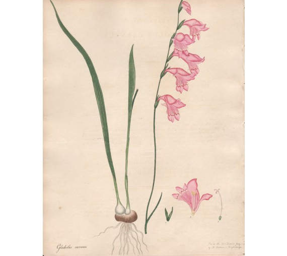 gladiolus carneus botanical print antique engraving andrews