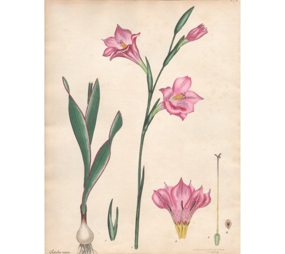 gladiolus roseus botanical print antique engraving andrews
