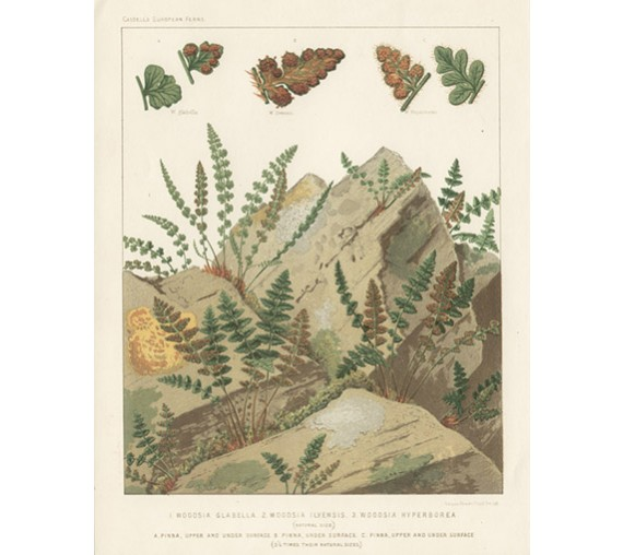 woodsia fern print antique lithograph