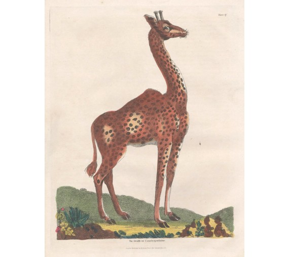 Giraffe Cameleopardalus antique engraving