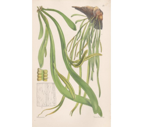 adders tongue fern fitch botanical print antique lithograph