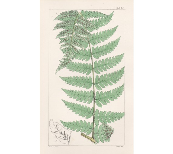 asplenium brownii spleenwort fern fitch hooker print antique