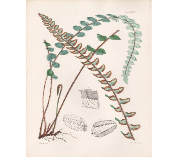 pellaea fern fitch hooker exotic ferns botanical print antique lithograph