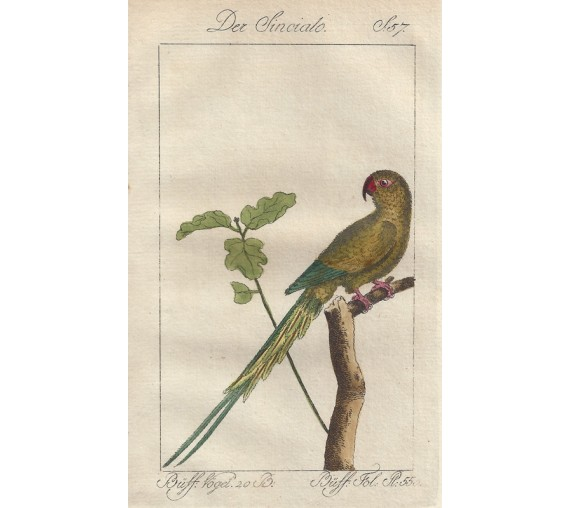 Small Green Parrot Cayenne Buffon bird engraving
