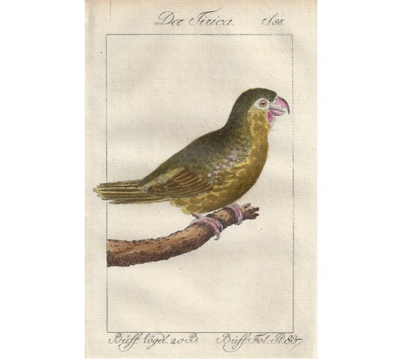 Tirica Parakeet Buffon bird engraving