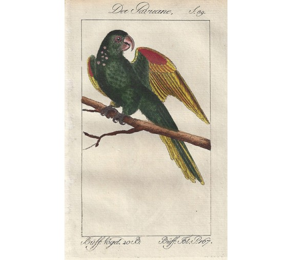 Pavouane Parrot Buffon bird engraving