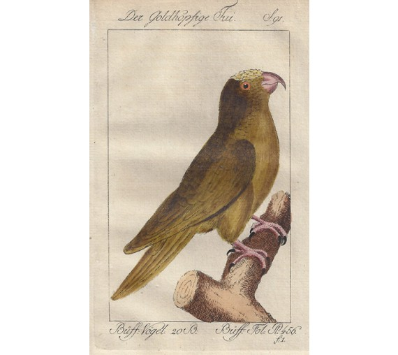 Goldheaded Parakeet Buffon bird engraving