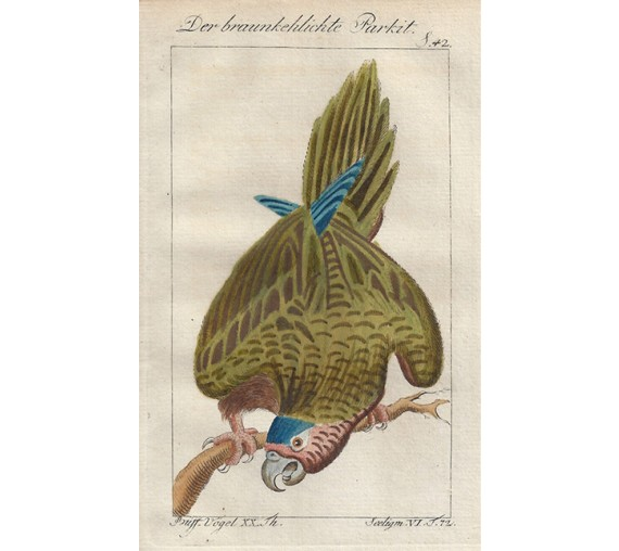 Brownthroated Parakeet Buffon bird engraving