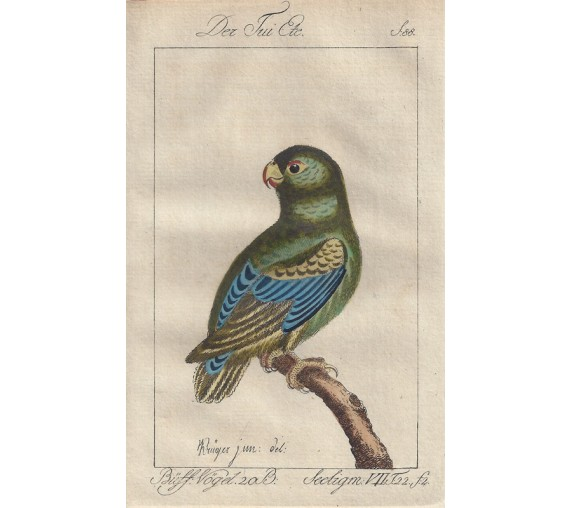 Little Blue Green Parakeet Buffon bird engraving