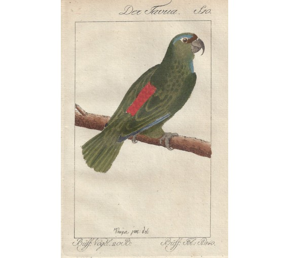 Tavoua Parrot Buffon bird engraving