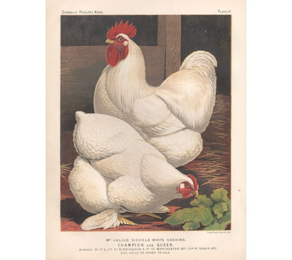 Cassells Book Poultry White Cochins Chromolithograph Ludlow