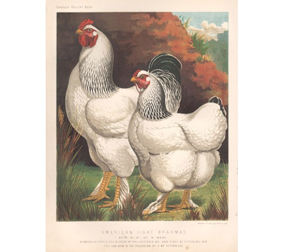 Cassells Book Poultry American Light Brahmas Chromolithograph Ludlow
