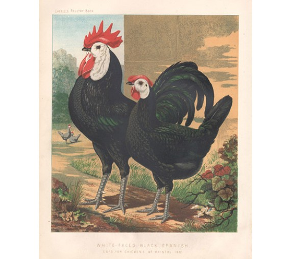 Cassells Poultry White Faced Black Spanish Chromolithograph Ludlow
