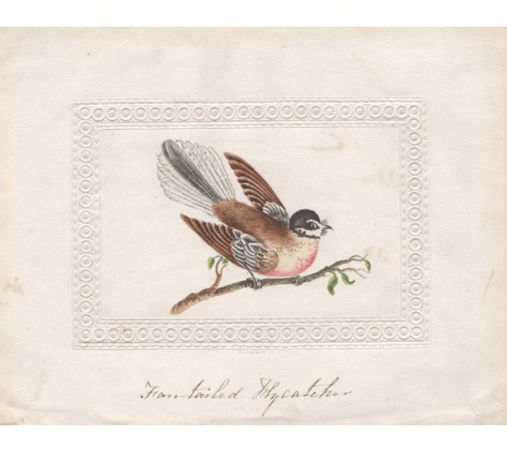 Fan-tailed Flycatcher Watercolour John Latham