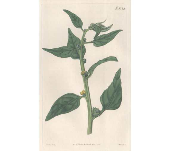 tetragonia spinach curtis botanical magazine print antique engraving