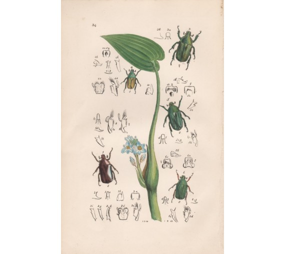 East Indian Insects Lithograph John Obadiah Westwood
