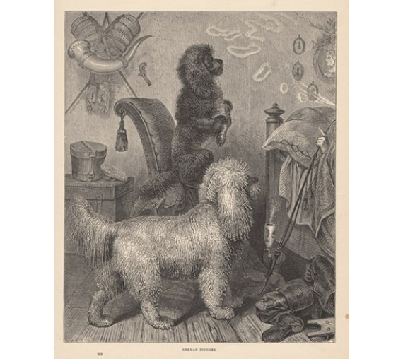 German Poodles engraving Cassell book dog