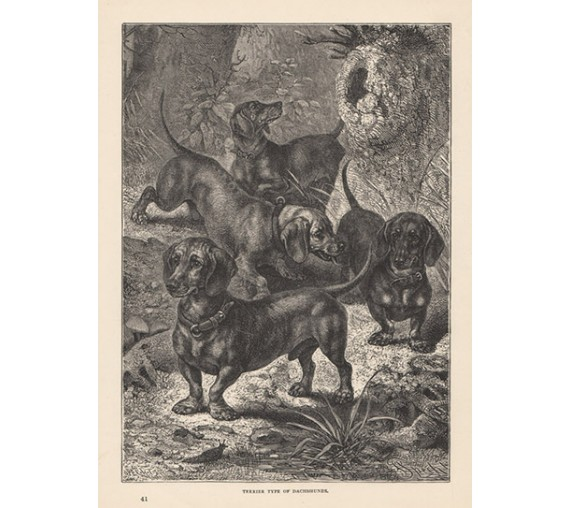 Terrier Dachshunds engraving Cassell book dog