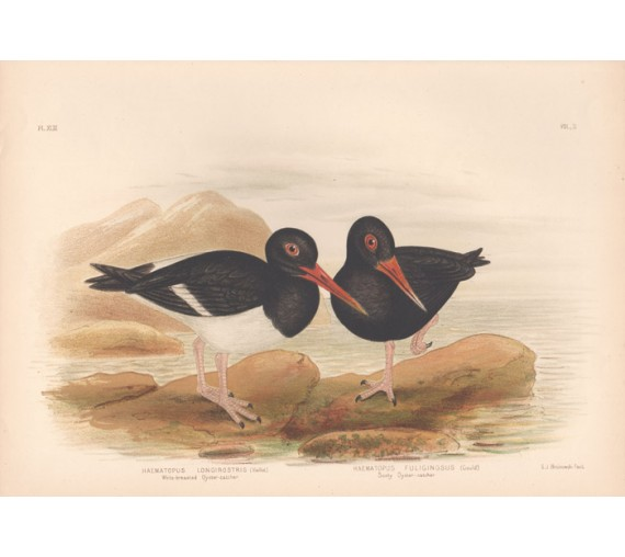 Oyster Catchers Broinowski Birds Australia Chromolithograph
