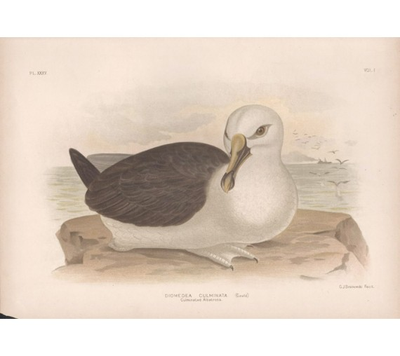 Culminated Albatross Broinowski Birds Australia Chromolithograph