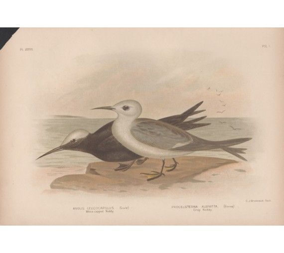 Whitecapped Noddy Grey Broinowski Birds Australia Chromolithograph