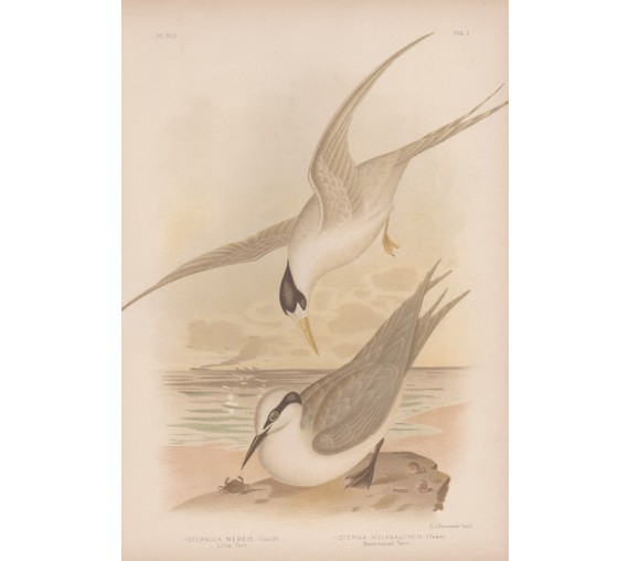 Little Tern Blacknapped Broinowski Birds Australia Chromolithograph