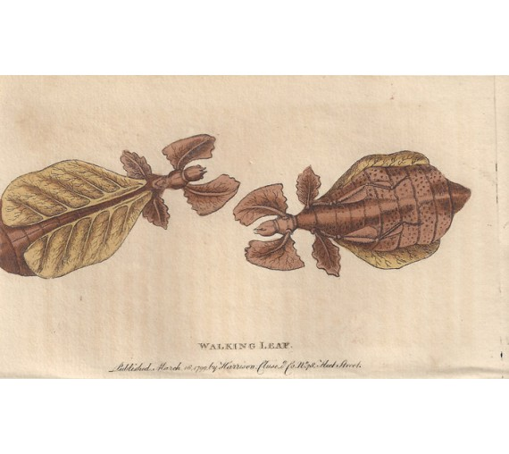 Walking Leaf engraving Naturalist's Pocket Magazine insect