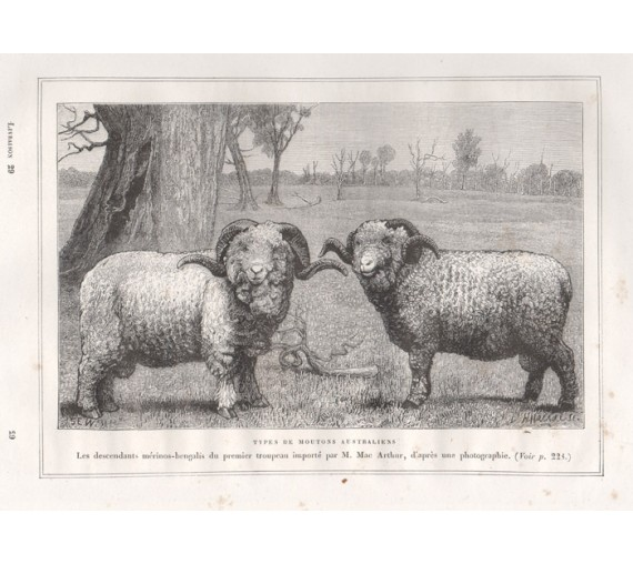 Types Australian Sheep engraving Harral