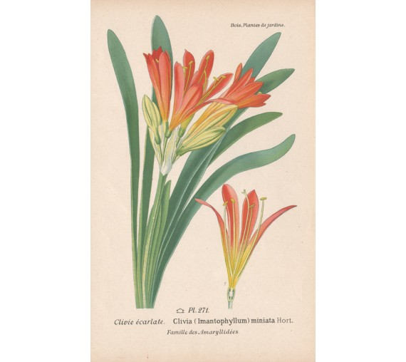 clivia botanical print antique engraving lithograph