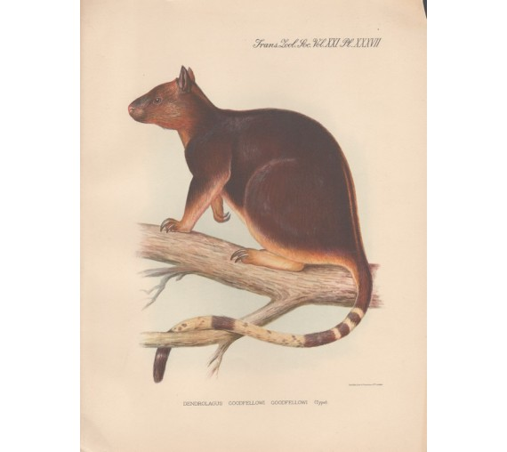 Goodfellows Tree Kangaroo lithograph Frederick William Frohawk 1936