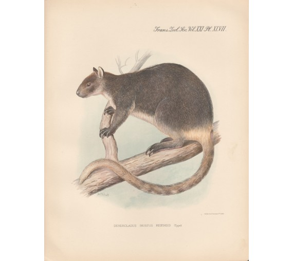 Dendrolaugus Inustus Keiensis lithograph Frederick William Frohawk 1936