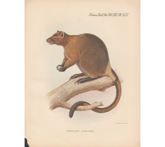Bennett Tree Kangaroo lithograph Frederick William Frohawk 1936