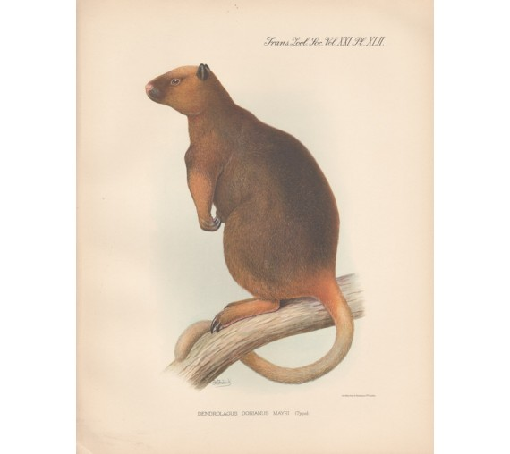 Wondiwoi Tree Kangaroo lithograph Frederick William Frohawk 1936