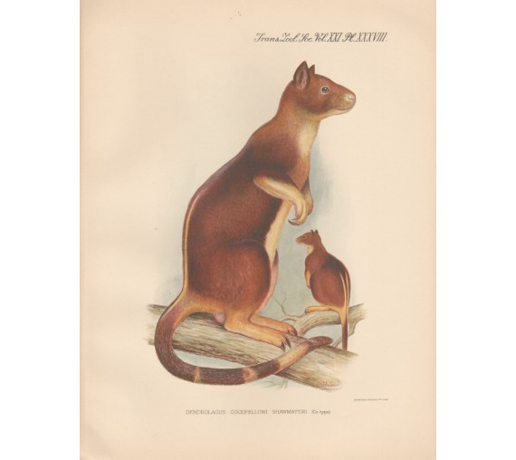 Shawmayers Tree Kangaroo lithograph Frederick William Frohawk 1936